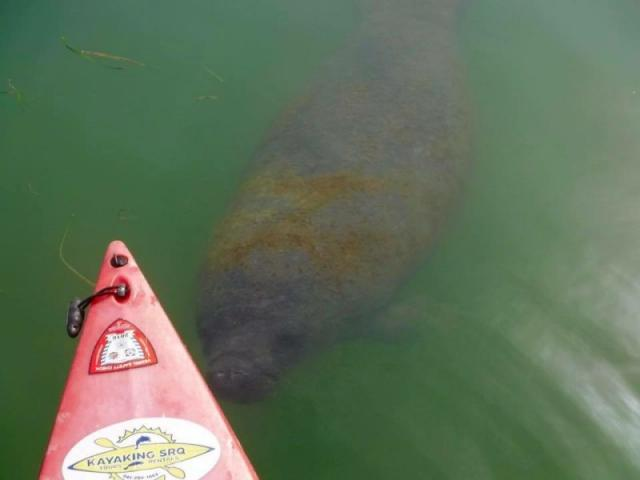 Manatee Fun! - This little guy was pushing our boat today.