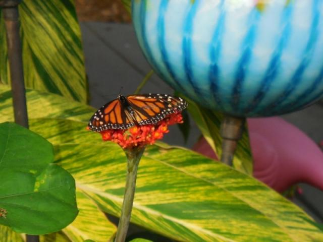 6111_640x480.jpg - Monarchs Love Our Gardens!  Glass Globe by Douglas & Renee Sigwarth