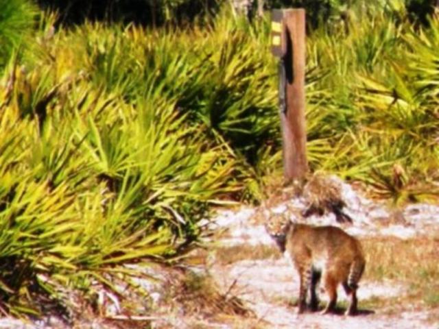 1243_640x481.jpg - Bobcat hiking on Slash Pine Trail