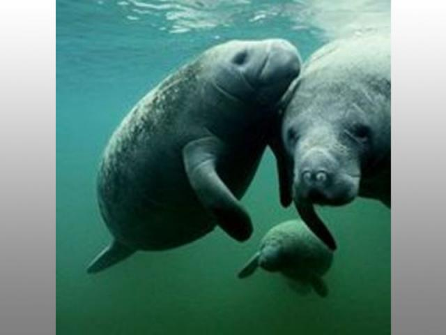 Beautiful Manatees - We are professionals at spotting this big guys!!