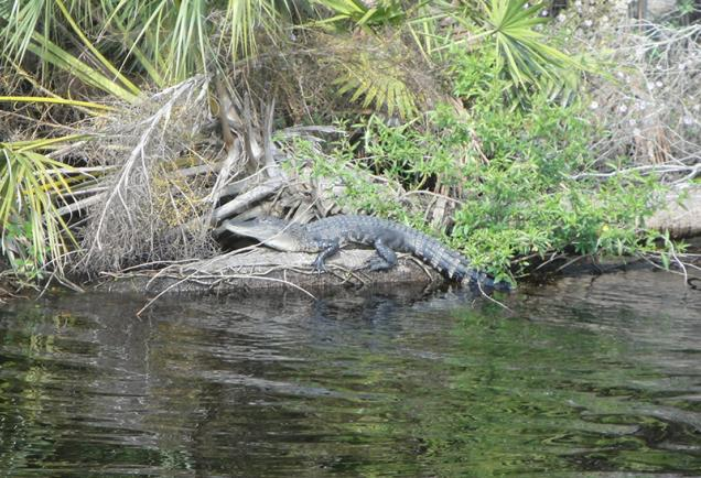 An Alligator perched off Myakka River. Photo by Beth Luberecki