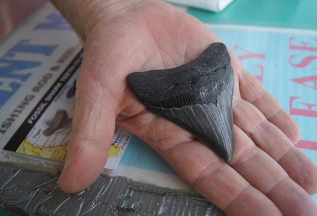 Megalodon shark tooth, Venice, Florida