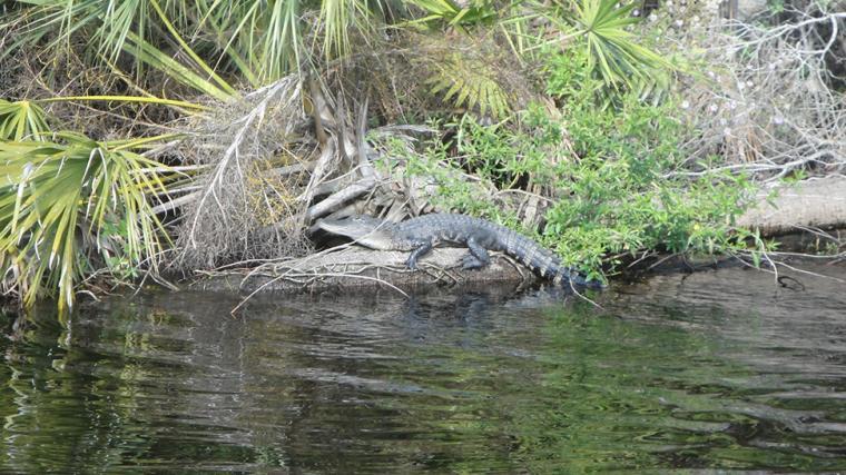 An Alligator perched off Myakka River. Photo by Beth Luberecki