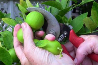 Key Lime Tree.  Photo by Robin Draper.