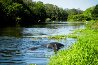 Manatees Mating on Phillippi Creek by Liz Sandburg