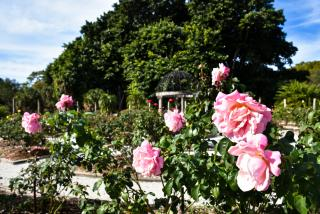 Mabel Ringling Rose Garden, The Ringling in Sarasota County, Florida