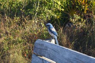 A Scrub Jay sighting at Oscar Scherer State Park