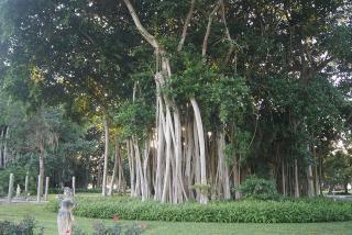 Banyan Trees at The Ringling.  Photo Credit: Robin Draper.