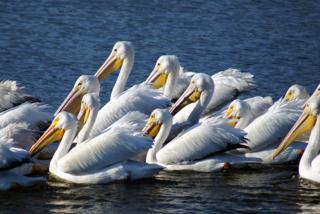 White Pelicans.  Photo Credit: Robin Draper
