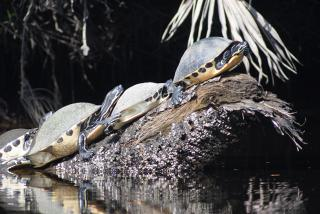 Turtles on a log at Snook Haven. Photo credit: Robin Draper
