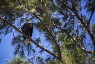 A bald eagle at Lido Beach. Photo Credit: Robin Draper.