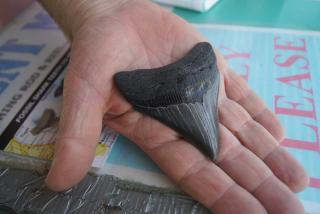 Megalodon Shark Tooth Venice Florida