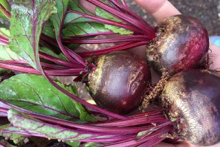 A beet held in one's hand.  Farmers Market Sarasota: Be on the Lookout for Beets!