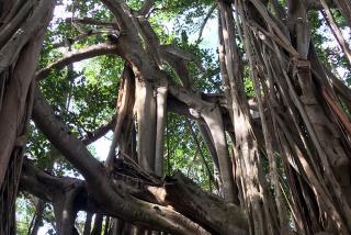 Banyan trees at The Ringling