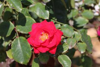 The Ringling Rose Garden.  Photo by Eddie Kirsch.