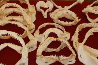 26th Annual Venice Shark's Tooth Festival - Signature Event