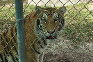 Seeing the tigers at Big Cat Habitat & Gulf Coast Sanctuary. Photo by Vanessa Caceres.